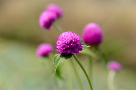 globosa: beautiful Globe amaranth flower  Gomphrena globosa Linn   at Thai flower garden Stock Photo