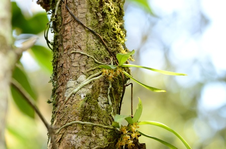 beautiful wild orchid  Acampe papillosa  in forest of Thailand