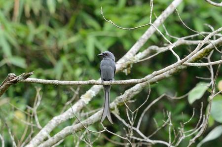 ashy: beautiful ashy drongo  Dicrurus leucophaeus  possing in nature Stock Photo