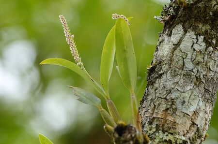 siamensis: beautiful wild orchid  Eria siamensis  in forest of Thailand Stock Photo