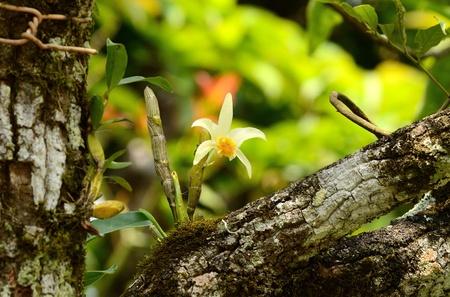beautiful wild orchid  Dendrobium heterocarpum  in forest of Thailand Stock Photo