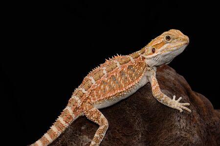 beautiful young normal phase bearded dragon  Pogona vitticeps  Stock Photo