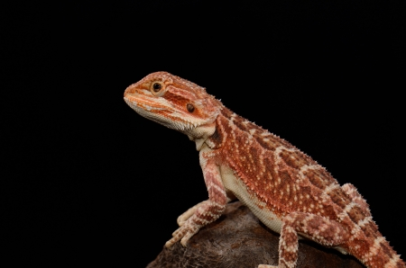 beautiful young red phase bearded dragon  Pogona vitticeps  photo