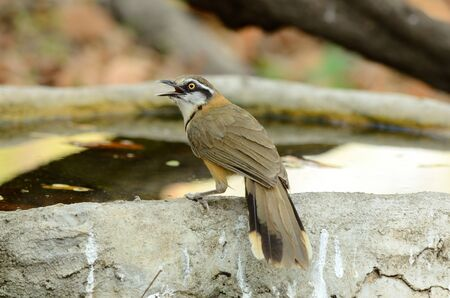 laughingthrush: beautiful Lesser Necklaced laughingthrush  Garrulax moniliger  at Huay Kha Khaeng Wildlife Sanctuary,Thaland