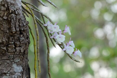 botanica: beautiful wild orchid  Dendrobium primulinum  in forest of Thailand
