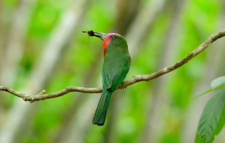 kaeng: beautiful male Red-bearded Bee-eater  Nyctyornis amictus  with insect at Kaeng Krachan National Park,Thailand Stock Photo