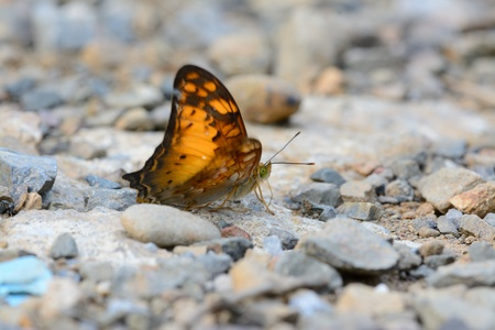vagrant: beautiful Vagrant butterfly  Vagrans egista sinha  on the road track