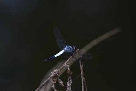 luitenant: mooie mannelijke Sombre Luitenant libel Brachydiplax sobrina in Thaise bos Stockfoto
