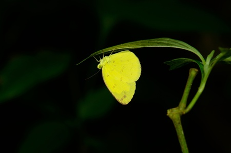 beautiful Common Grass Yellow butterfly  Eurema hecabe  resting under leaf
