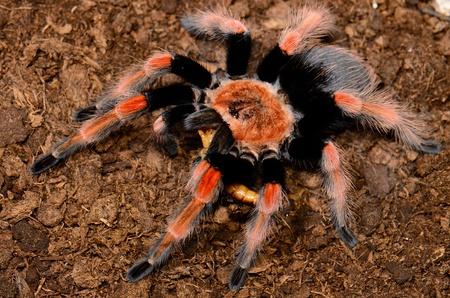 beautiful subadult female Mexican Fireleg tarantula Brachypelma boehmei  eating Stock Photo