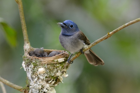 youngs: beautiful female black-nape monarch  Hypothymis azurea  protecting her youngs Stock Photo