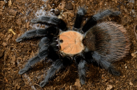 flauna: beautiful subadult female Mexican golden red rump tarantula  Brachypelma albiceps  Stock Photo