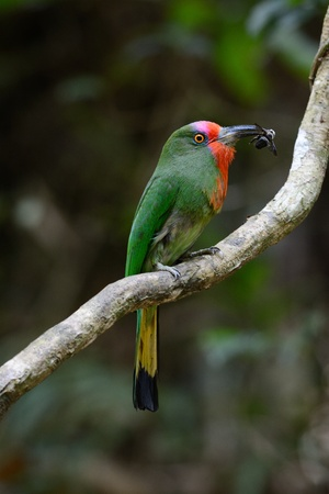 kaeng: beautiful female Red-bearded Bee-eater  Nyctyornis amictus  with insect at Kaeng Krachan National Park,Thailand