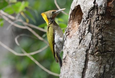 beautiful female Greater Yellownape woodpecker  Picus flavinucha  at her hole