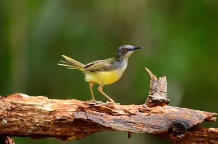 beautiful yellow-bellied prina  Prina flaviventris  possing on log in forest of Thailand