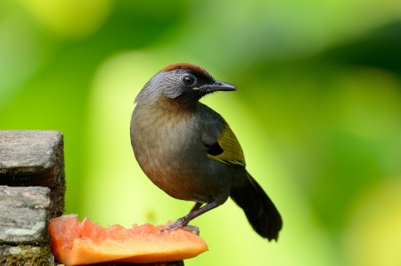 laughingthrush: beautiful chestnut-crowned laughingthrush Garrulax erythrocephlus  in Thai forest