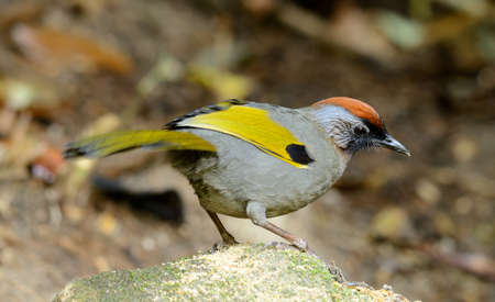 beautiful chestnut-crowned laughingthrush Garrulax erythrocephlus  in Thai forest photo