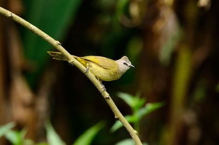 flavescens: beautiful flavescent bulbul  Pycnonotus flavescens  in Thai forest Stock Photo