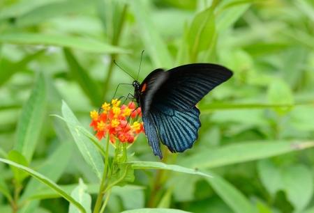 beautiful Great Mormon butterfly  Papilio memnon  on flower near the road track