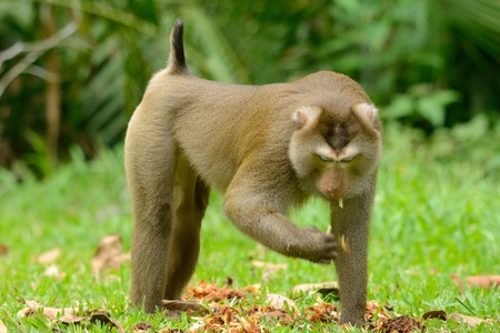 beautiful pig-tailed macaque  Macaca nemestrina  in Thai forest
