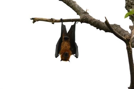 fling: male lyie s flyingfox Stock Photo