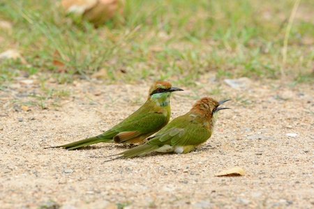 geen: beautiful Geen Bee-eater  Merops orientalis  in Thailand
