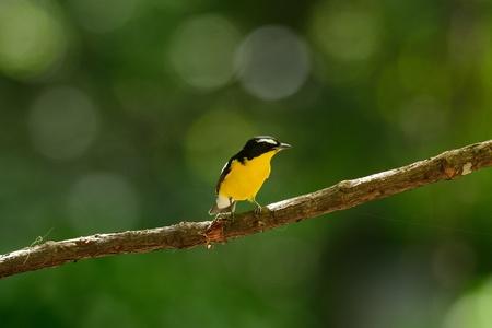 beautiful male Yellow-rumped Flycatcher  Ficedula zanthopygia  standing on branch