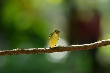 beautiful female Yellow-rumped Flycatcher  Ficedula zanthopygia  standing on branch