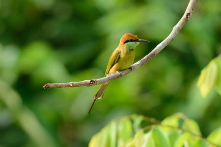 beautiful Geen Bee-eater  Merops orientalis  in Thailand