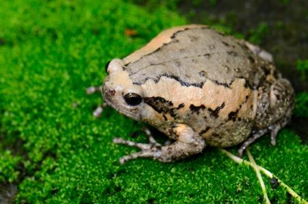 beautiful female Painted Bullfrog  Kaloula pulchra  on the ground