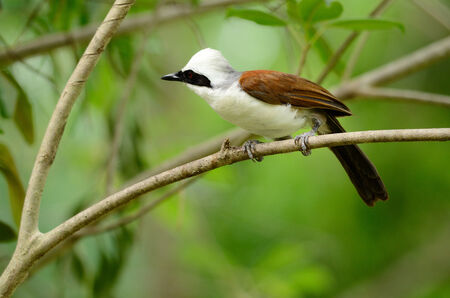 white crested laughingthrush: beautiful white-crested laughingthrush  Garrulax leucolophus  possing on tree