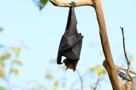 male lyie s flying fox