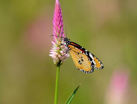 danaus: beautiful Plain Tiger butterfly  Danaus chrysippus  at flower garden