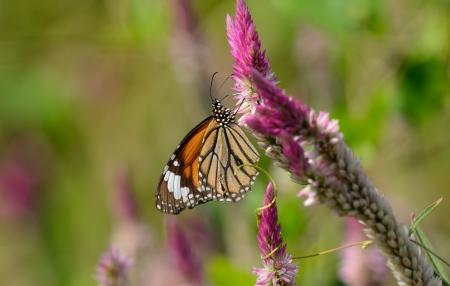 danaus: beautiful Common Tiger butterfly  Danaus genutia  at flower garden