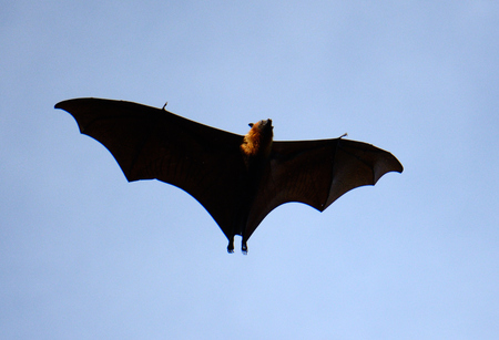 male lyie s flyingfox Stock Photo