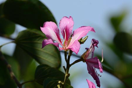 orchid tree: hermosa blakeana Orchid Tree flor Bauhinia en tailand�s jard�n de flores