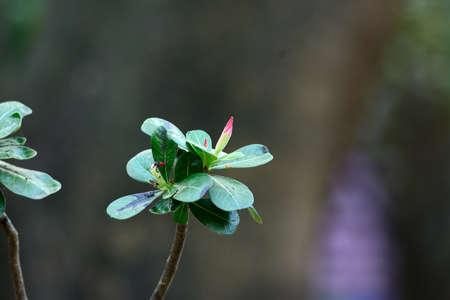 adenium obesum: beautiful Impala Lily Adenium flower  Adenium obesum  at Thai flower garden