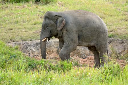 beautiful bull Asian Elephant  Elephas maximus  at Thai national park