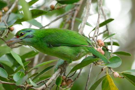 fruiting: beautiful moustached barbet  Megalaima incognita  in fruiting tree