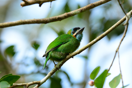 fruiting: beautiful blue-eared barbet  Megalaima autralis  in fruiting tree Stock Photo