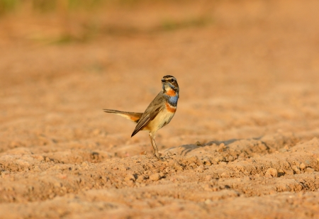beautiful male Bluethroat  Luscinia svecica  standing on ground photo