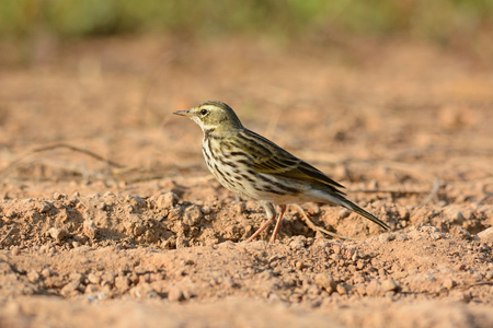 beautiful Rosy Pipit  Anthus roseatus  on ground Stock Photo