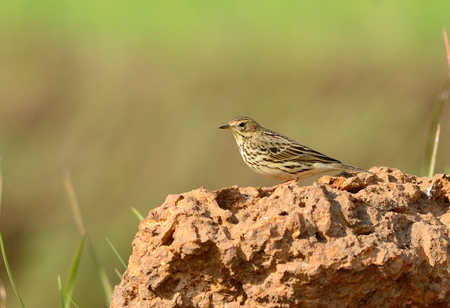 immature: beautiful immature Red-throated Pipit  Anthus cervinus  standing on the rock