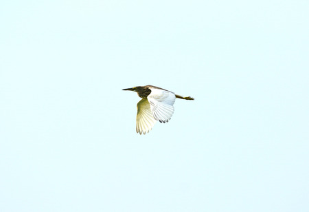 bacchus: beautiful Chinese Pond Heron  Ardeola bacchus  flying in the sky