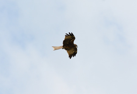 black kite:  beautiful alone Black Kite  Milvus migrans  flying in the sky