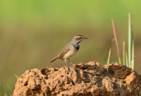 beautiful male Bluethroat standing on ground photo