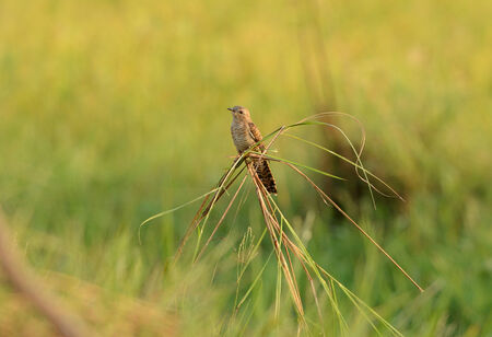plaintive: beautiful female Plaintive Cuckoo near rice field
