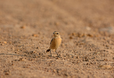 beautiful female Eastern Stonechat standing on ground photo