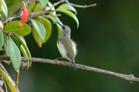 sunbird: beautiful female black-throated sunbird