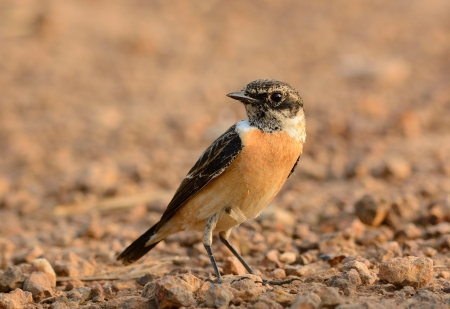 beautiful male Eastern Stonechat  Saxicola stejnegeri  standing on ground photo